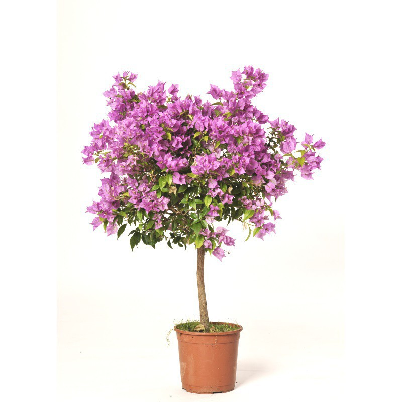 Bougainvillier boule sabannes r ception for Arbuste sans entretien
